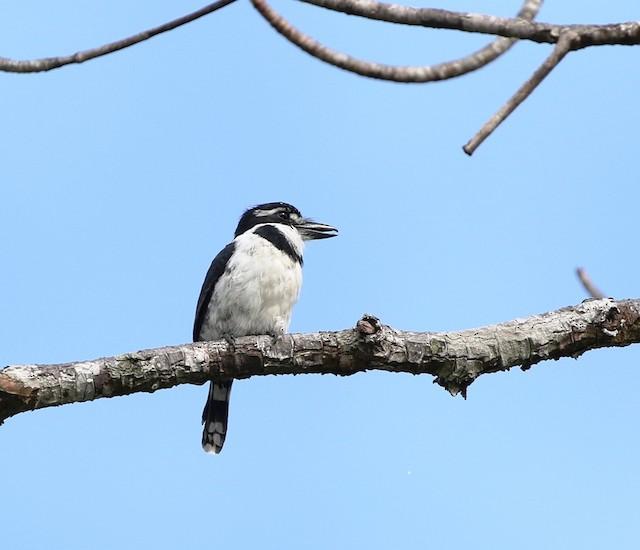 Pied Puffbird (Lesser)