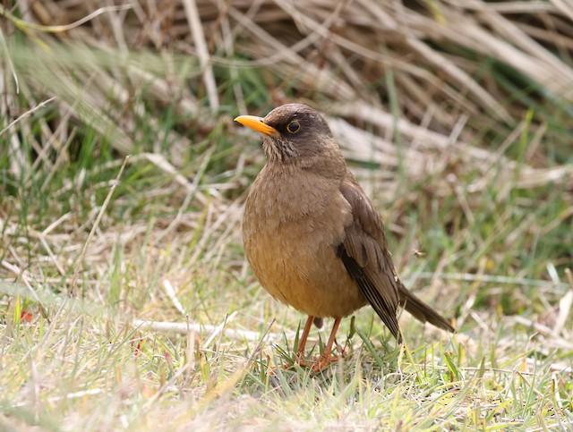 Austral Thrush (Falkland)