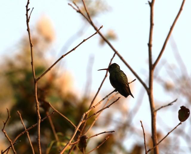 Gilded Hummingbird