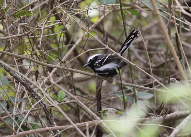 Black-bellied Antwren