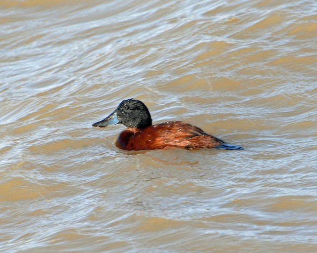 Andean Duck