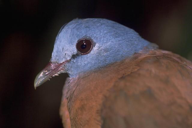 Blue-headed Wood-Dove