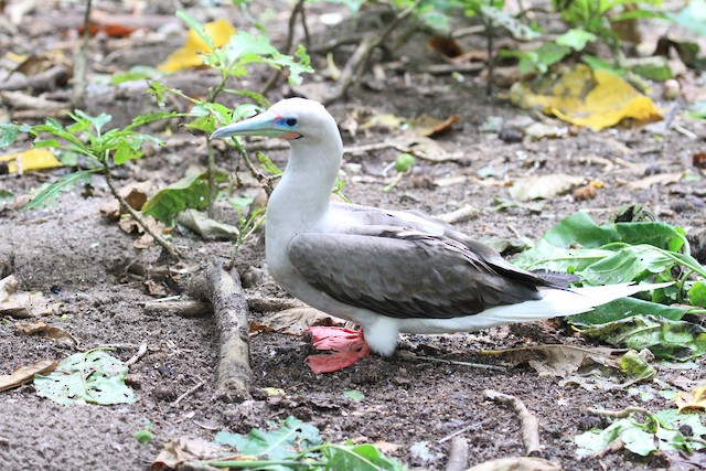 Red-footed Booby (Indopacific)