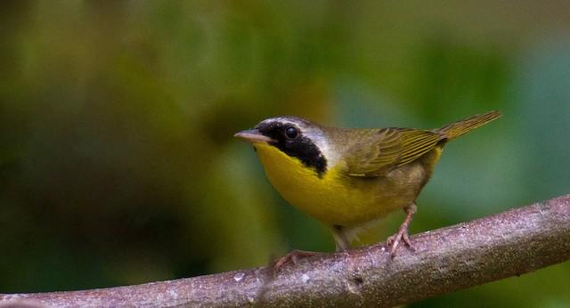 Common Yellowthroat (trichas Group)