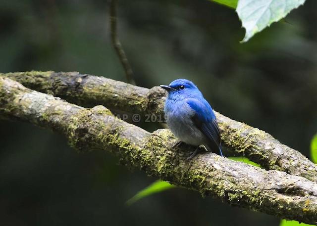 Pale Blue Flycatcher (Hartert's)