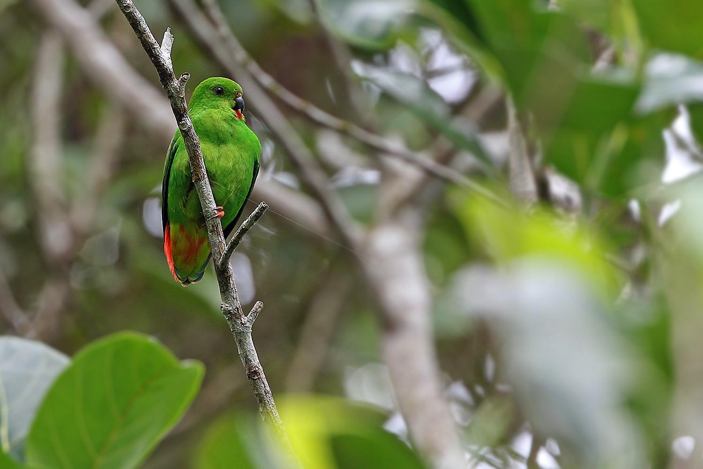 Sangihe Hanging-Parrot - James Eaton