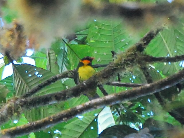 Orange-breasted Fruiteater