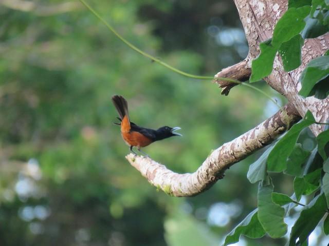 Chestnut-bellied Monarch (Makira)