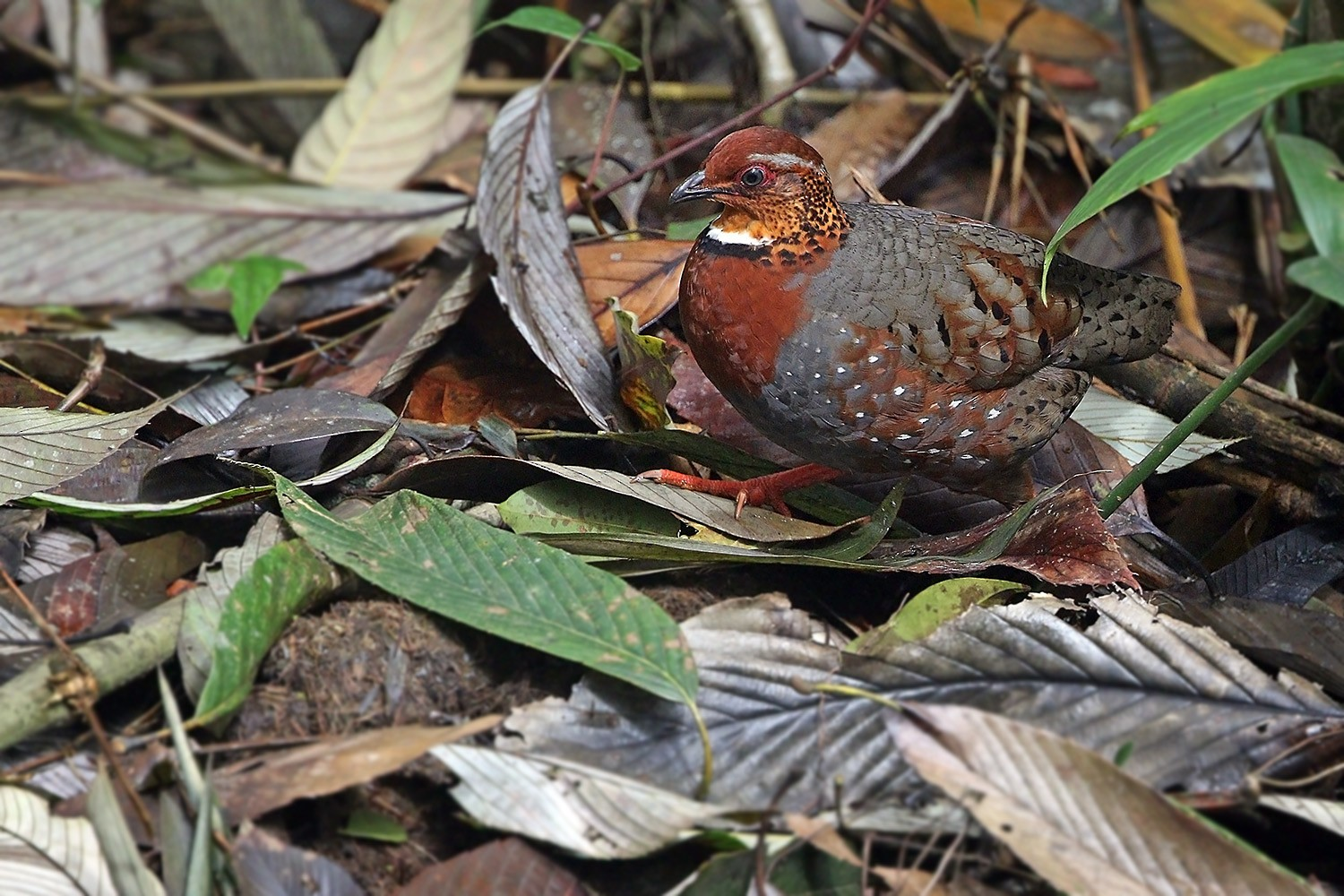 Chestnut-breasted Partridge - James Eaton