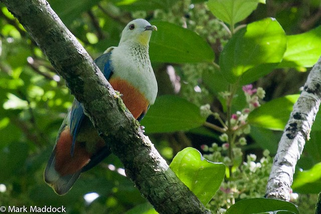 Silver-capped Fruit-Dove