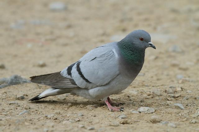 Hill Pigeon
