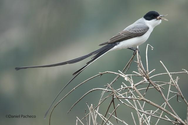 Fork-tailed Flycatcher (savana)