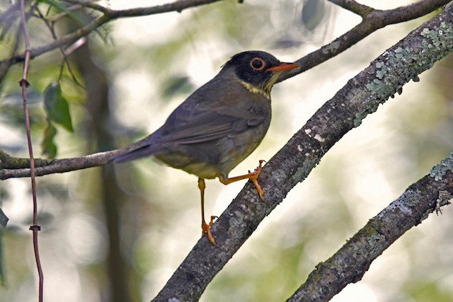 Spotted Nightingale-Thrush (Sclater's)