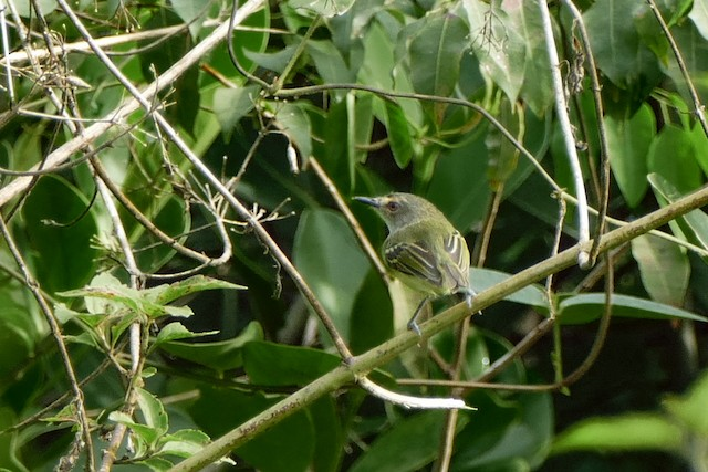 Smoky-fronted Tody-Flycatcher