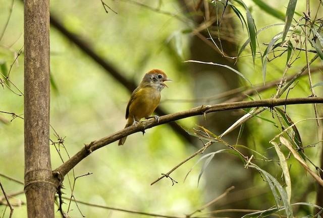 Rufous-crowned Greenlet