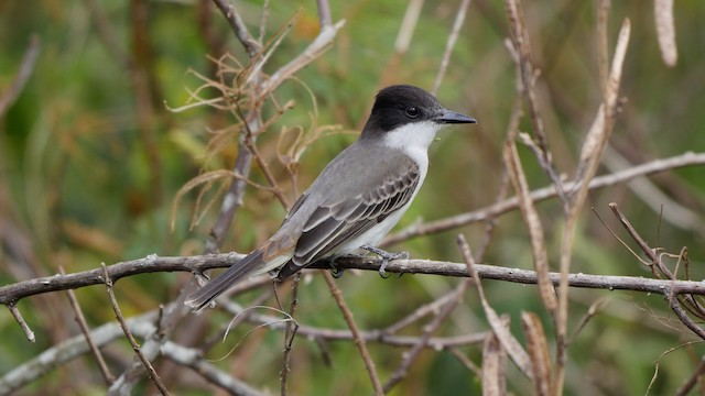 Loggerhead Kingbird (Loggerhead)