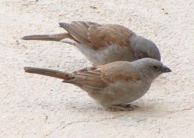 Swainson's Sparrow