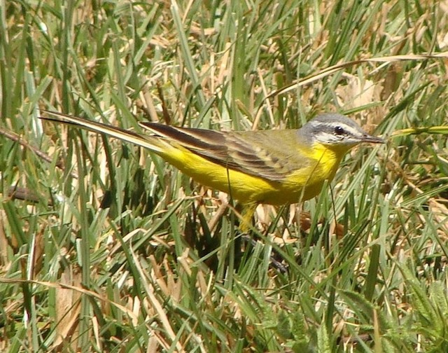 Western Yellow Wagtail (beema)