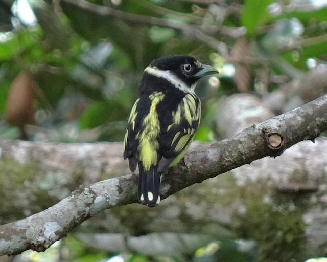 Black-and-yellow Broadbill
