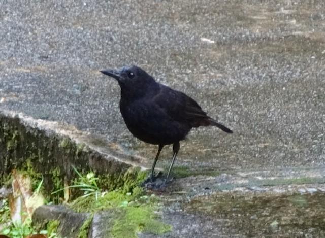 Bornean Whistling-Thrush