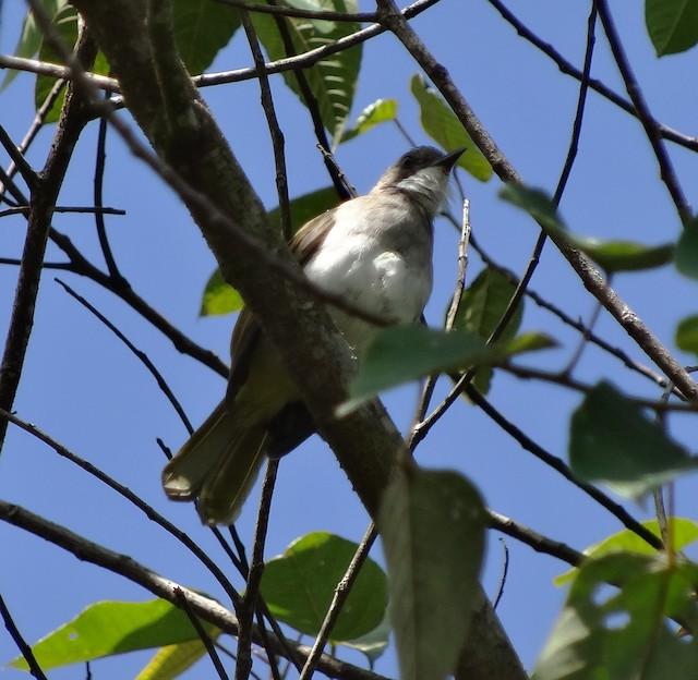 Cinereous Bulbul (Green-winged)