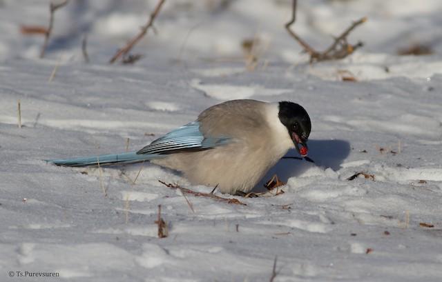 Azure-winged Magpie (Azure-winged)