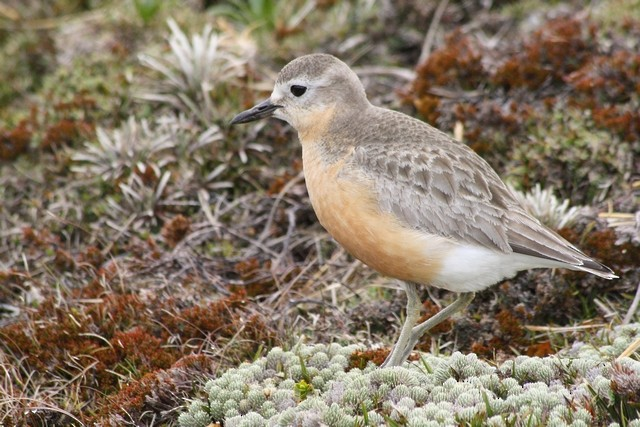 Red-breasted Dotterel (Southern)