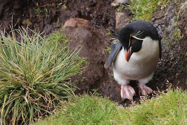 Southern Rockhopper Penguin (Eastern)