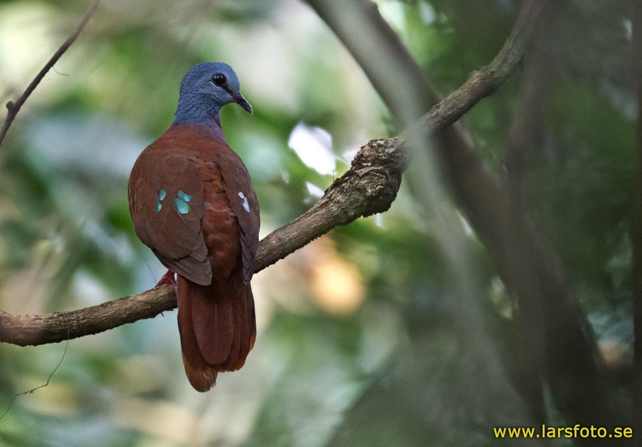 Blue-headed Wood-Dove - Lars Petersson
