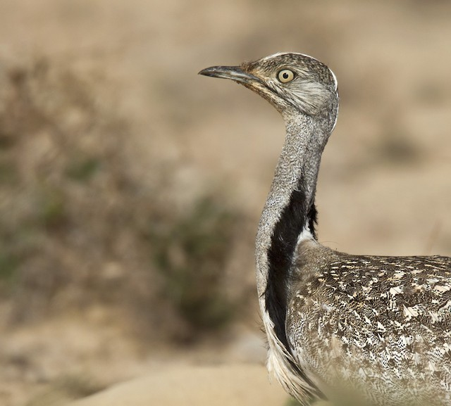 Houbara Bustard (Canary Is.)