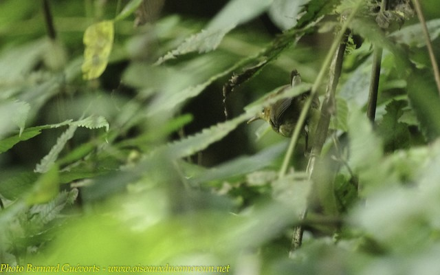 White-tailed Warbler (Alexander's)