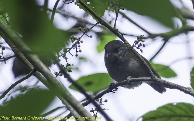 African Hill Babbler (Mt. Cameroon)