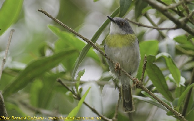 Yellow-breasted Apalis (Yellow-breasted)