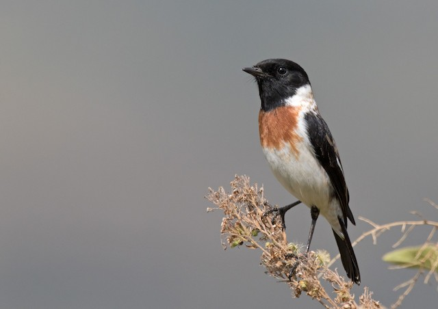 African Stonechat (African)