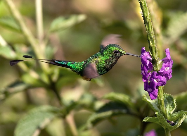 Booted Racket-tail (Anna's)