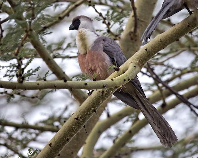 Bare-faced Go-away-bird (Black-faced)