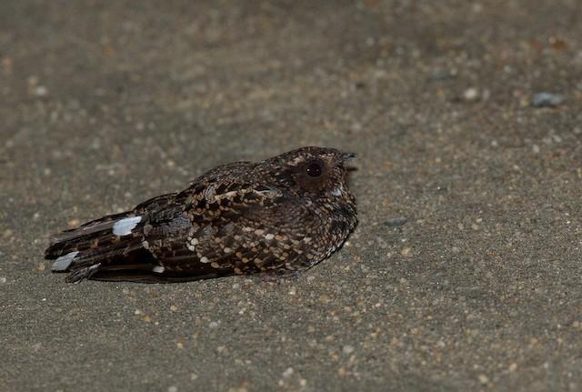Blackish Nightjar