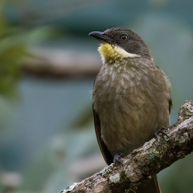 Yellow-throated Greenbul (flavigula)