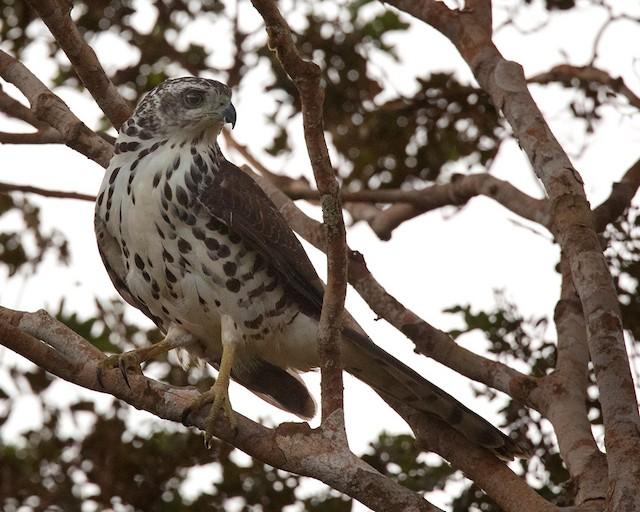 African Goshawk (Eastern)