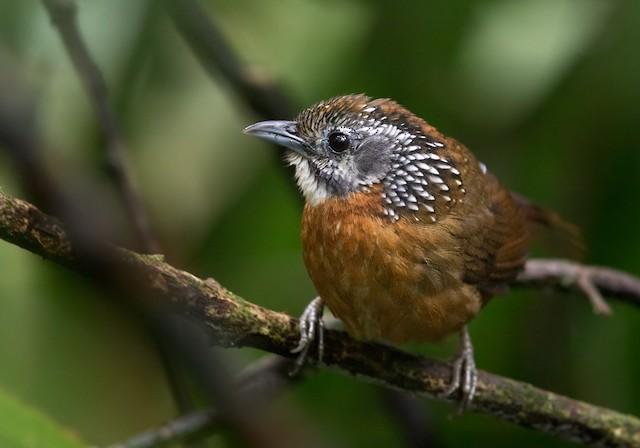 Spot-necked Babbler