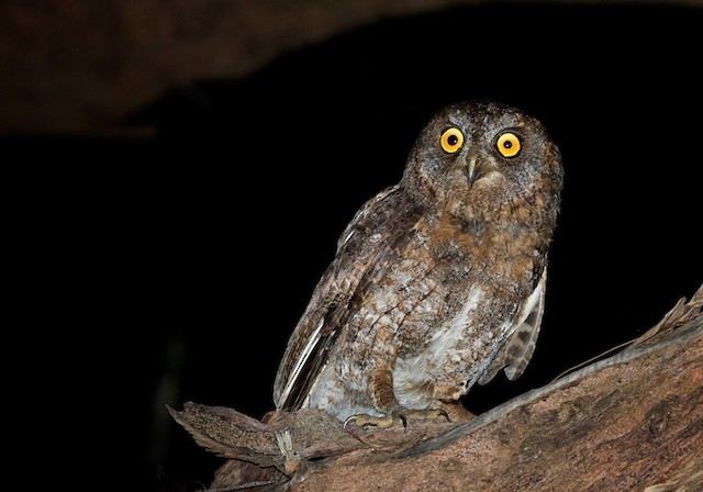 Ryukyu Scops-Owl