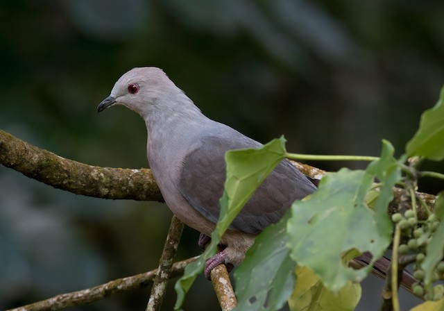 Peale's Imperial-Pigeon