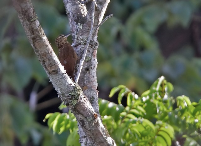 Buff-throated Woodcreeper (Buff-throated)
