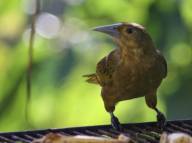 Russet-backed Oropendola (Green-billed)