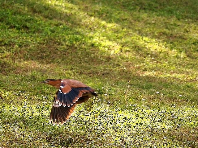 Malayan Night-Heron