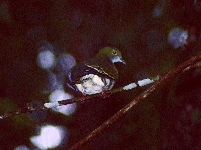Superb Fruit-Dove (Eastern)