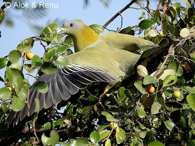 Yellow-footed Green-Pigeon