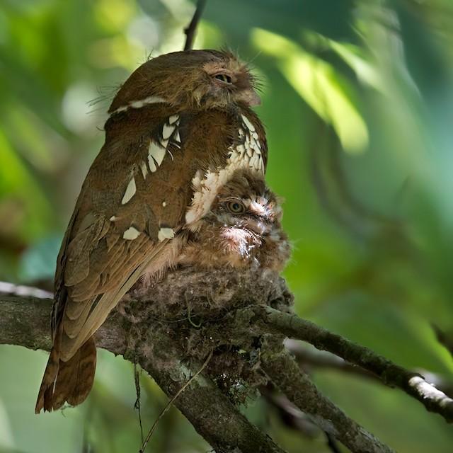 Sumatran Frogmouth