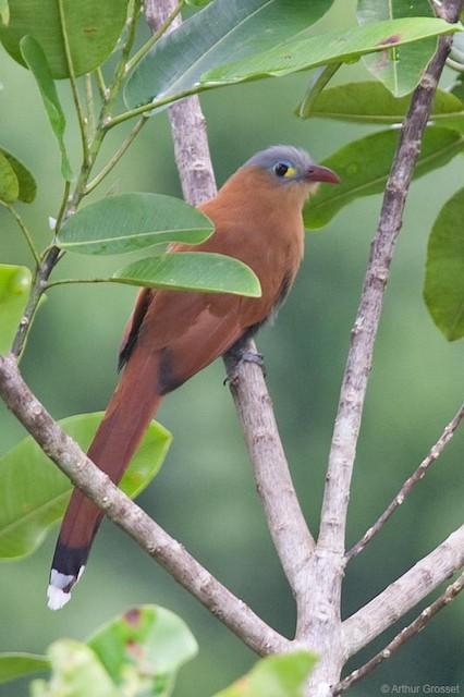 Black-bellied Cuckoo
