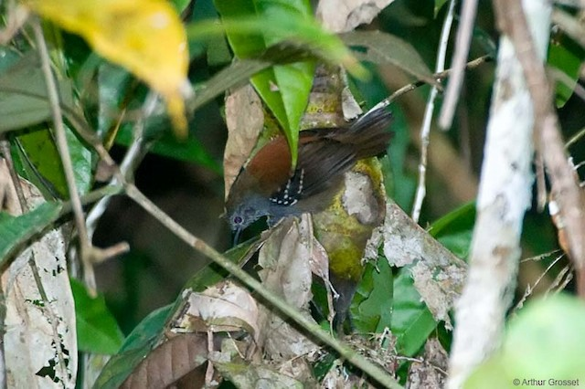 Rufous-backed Stipplethroat (Rio Negro)